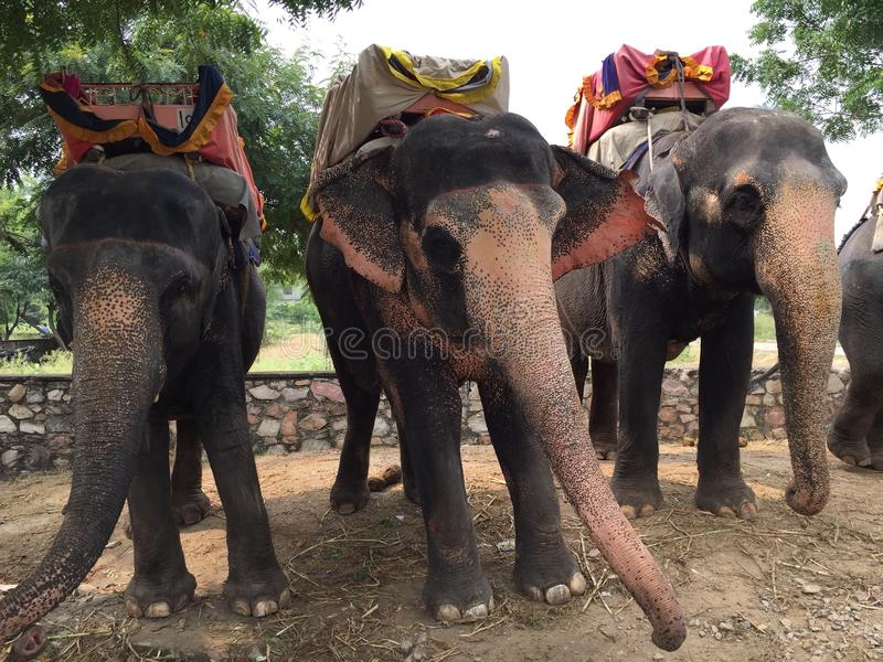 Elephants in jaipur, india stock photography