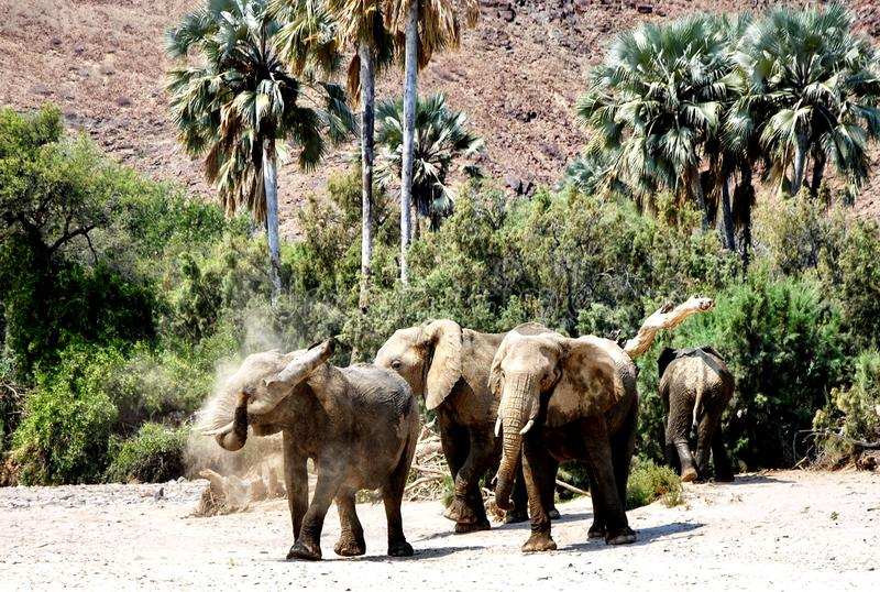 Elephants in the Karoo stock photos
