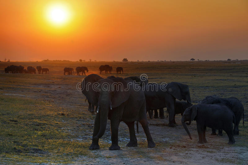 The elephants kingdom. This picture it was taken in Chobe national park,Botswana at sunset royalty free stock images