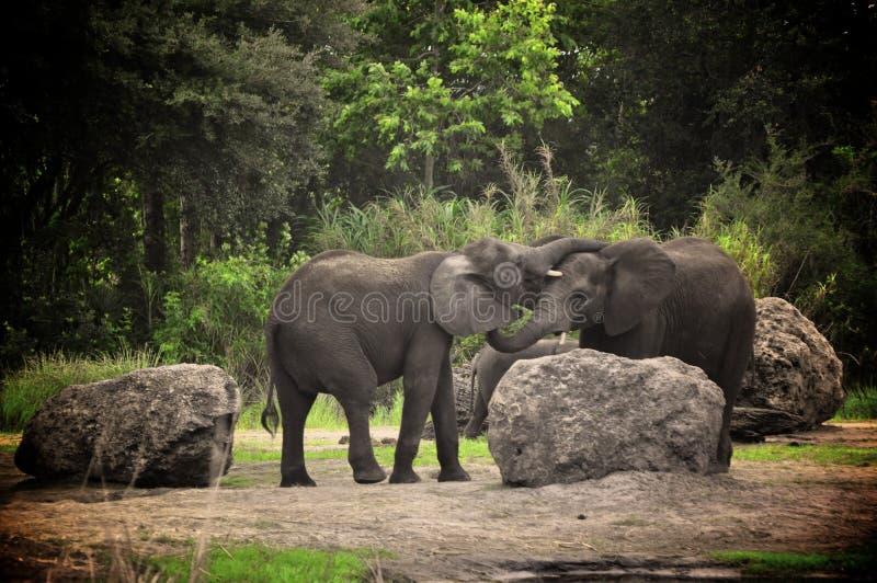 Elephants Kissing Royalty Free Stock Photo