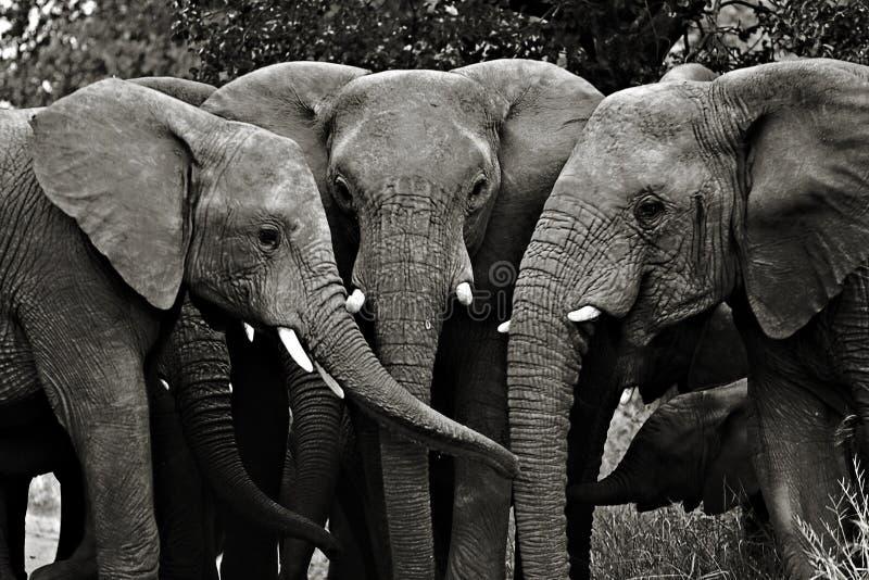 Elephants, Kruger National Park. South Africa stock image