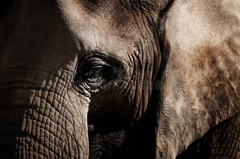 Elephant, closeup portrait of African elephant. Elephants are large mammals of the family Elephantidae and the order Proboscidea. Detail face african elephant stock images