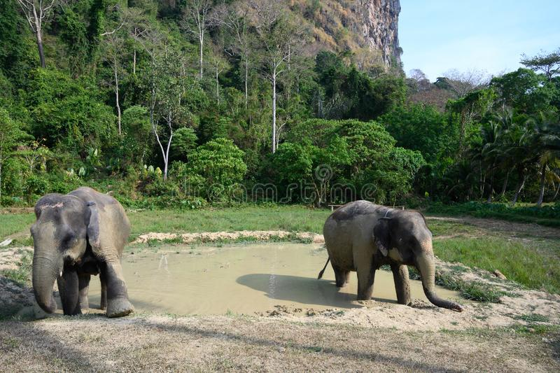 Elephants leaving mud bath at sanctuary royalty free stock photos