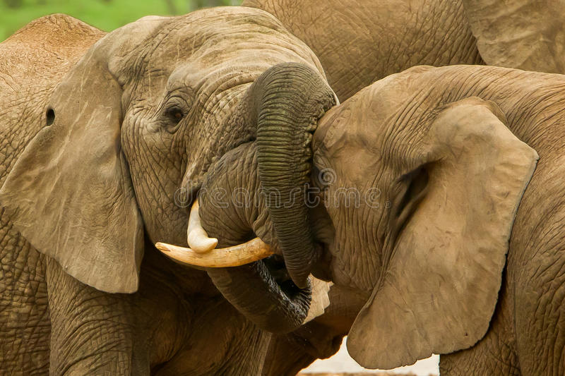 Download Elephants With Locked Trunks Stock Photo - Image of massive, animal: 19035084