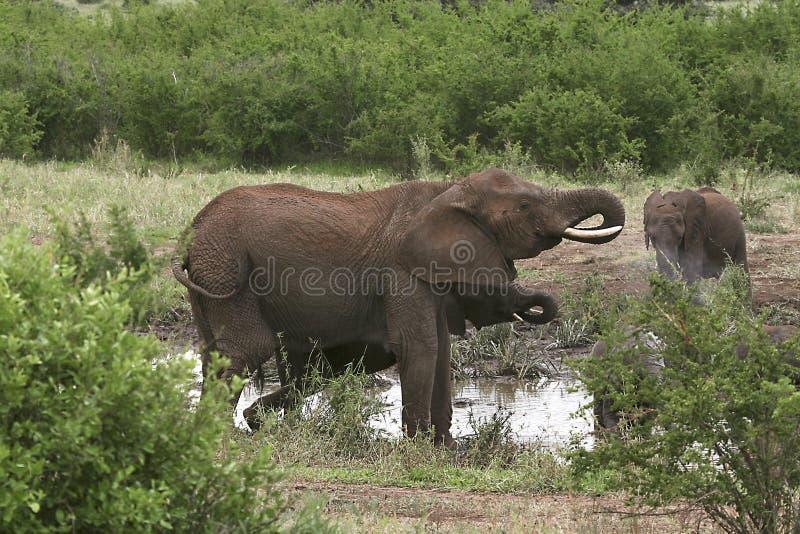 Download Elephants  (Loxodonta Africana) Stock Photo - Image: 10855420