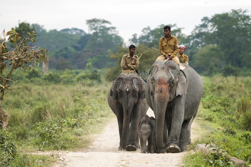 Elephants and mahouts in Kaziranga Park in India royalty free stock images