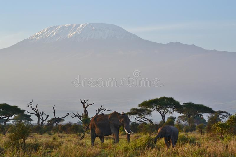 Elephants and Mount Kilimanjaro stock photography