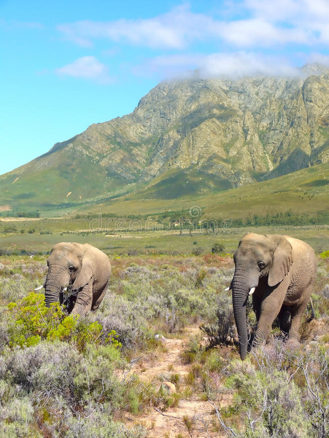 Elephants in the nature royalty free stock image