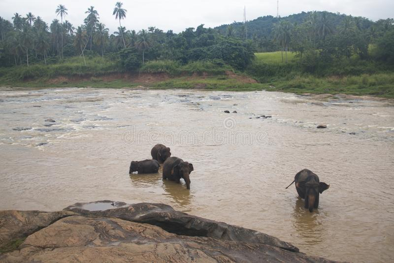 Elephants in an orphenage in Sri Lanka. Elephants at the Pinnawala Elephant orphenage near Kandy in Sri Lanka royalty free stock photo