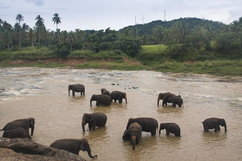 Elephants in an orphenage in Sri Lanka. Elephants at the Pinnawala Elephant orphenage near Kandy in Sri Lanka stock photos