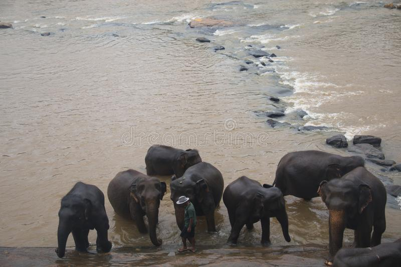 Elephants in an orphenage in Sri Lanka. PINNAWALA, SRI LANKA - DECEMBER 2017: Elephants at the Pinnawala Elephant orphenage near Kandy in Sri Lanka royalty free stock photography