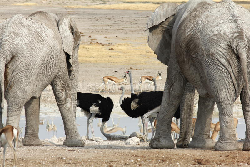 Elephants and Ostrich royalty free stock photo