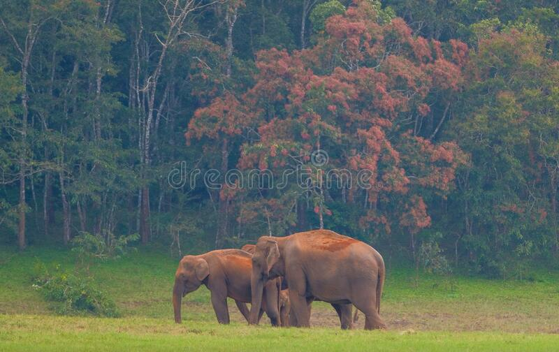 Elephants in Periyar National Park stock photography
