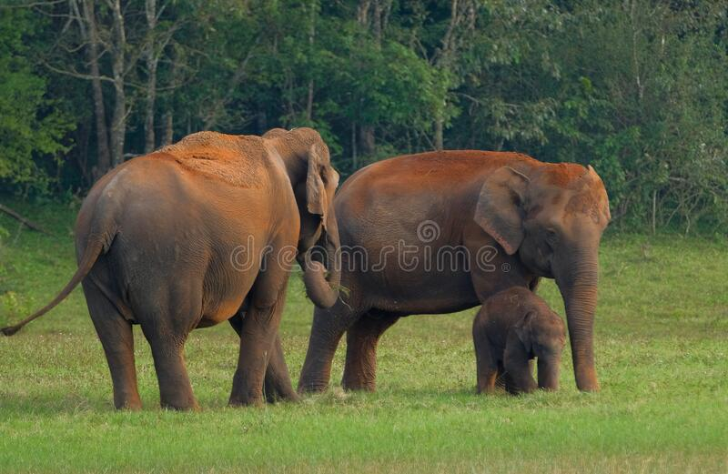 Elephants in Periyar National Park royalty free stock images