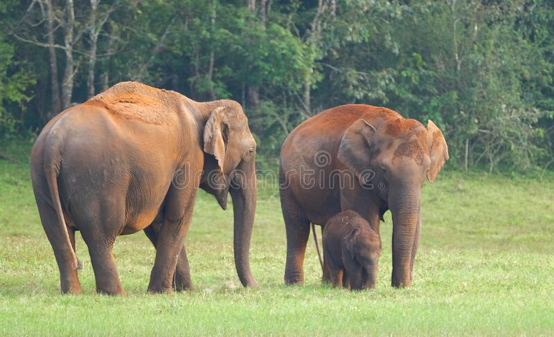 Elephants in Periyar National Park royalty free stock photos