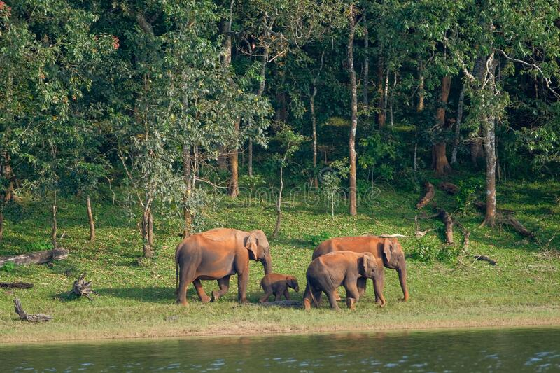 Elephants in Periyar National Park royalty free stock image