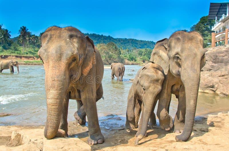 Elephants At Pinnawala Elephant Orphanage, Sri Lanka. Pinnawala Elephant Orphanage is an orphanage, nursery and captive breeding ground for wild Asian elephants stock images