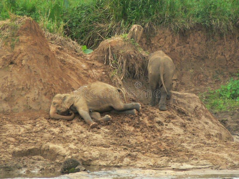 Elephants Playing stock photos
