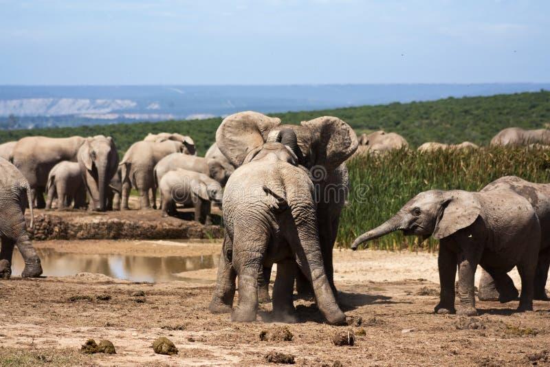 Elephants Playing stock image