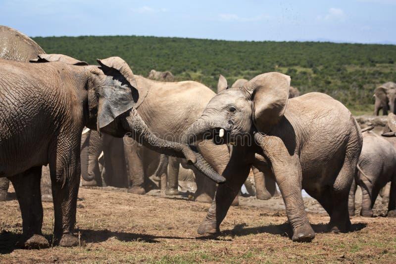 Elephants Playing stock photo