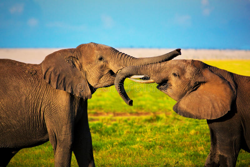 Elephants playing on savanna. Safari in Amboseli, Kenya, Africa. Elephants playing with their trunks on African savanna. Safari in Amboseli, Kenya, Africa stock photo