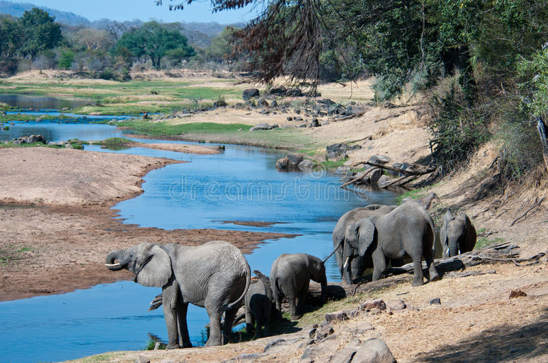 Elephants quenching thirst. A hers of Elephants quench their thirst from the cool waters of the Ruaha River, Tanzania royalty free stock photography