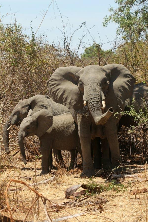 Elephants of Ruaha stock photo