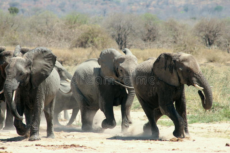 Elephants Run. Elephants kick up the dust as they run through the river bed of the Rufiji River, in Tanzania. Taken in October royalty free stock image