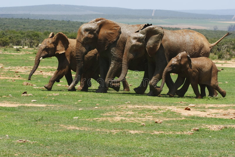 Elephants running stock images