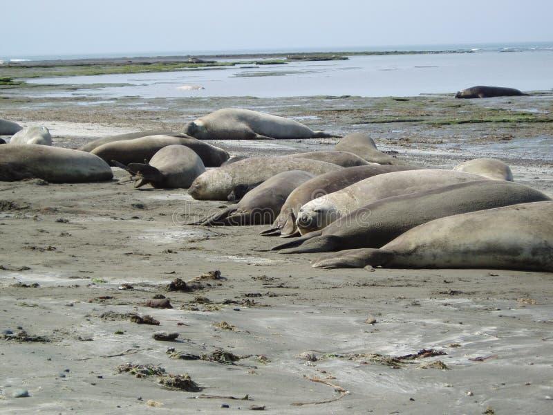 Download Elephants seal stock image. Image of biology, marini, peninsula - 7220641
