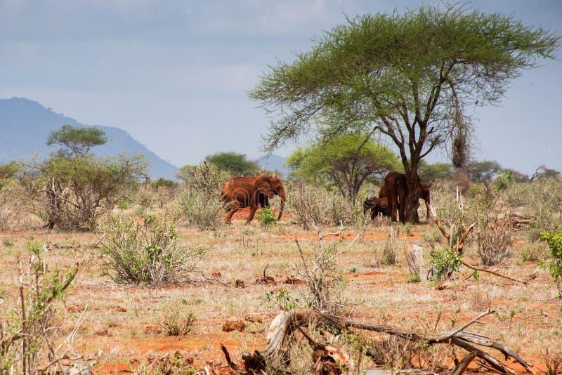 Elephants seen in Tsavo west national park in Kenya. Kenya safari. royalty free stock photo