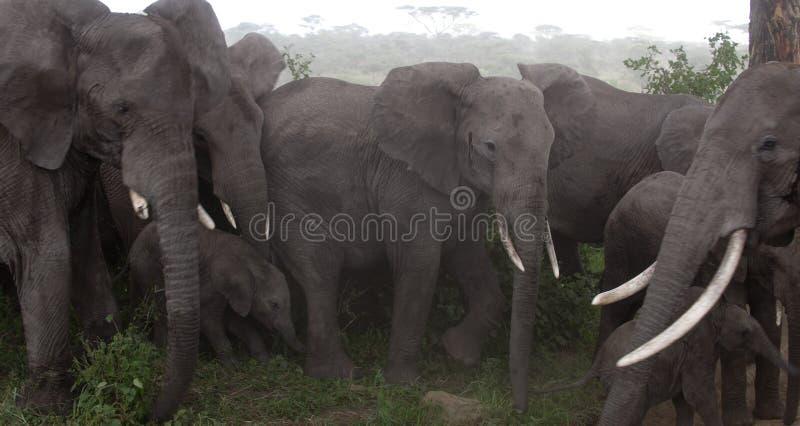 Elephants at the Serengeti National Park stock images