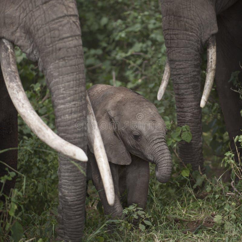 Elephants at the Serengeti National Park stock photo
