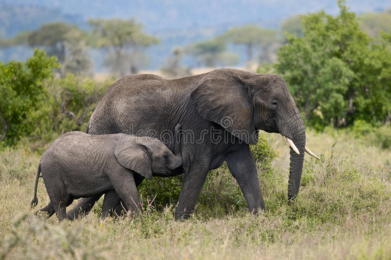 Download Elephants In Serengeti National Park, Tanzania Stock Image - Image: 20253453