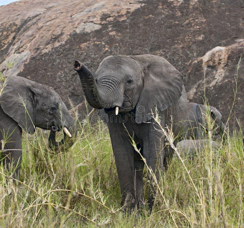 Elephants in Serengeti National Park, Tanzania royalty free stock image