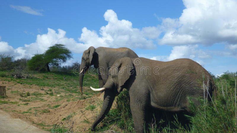 Elephants in south african bush stock images
