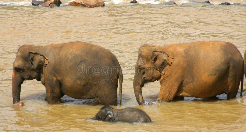 Elephants Sri Lanka royalty free stock photography