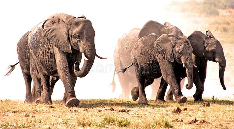 Download Elephants Stampede In The Dust. Stock Image - Image: 4730721