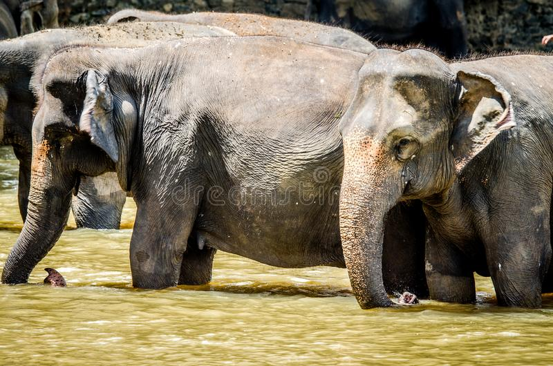 Elephants stand in the water during a bath  in the Pinnawala Elephant Orphanage, Sri Lanka. stock photos