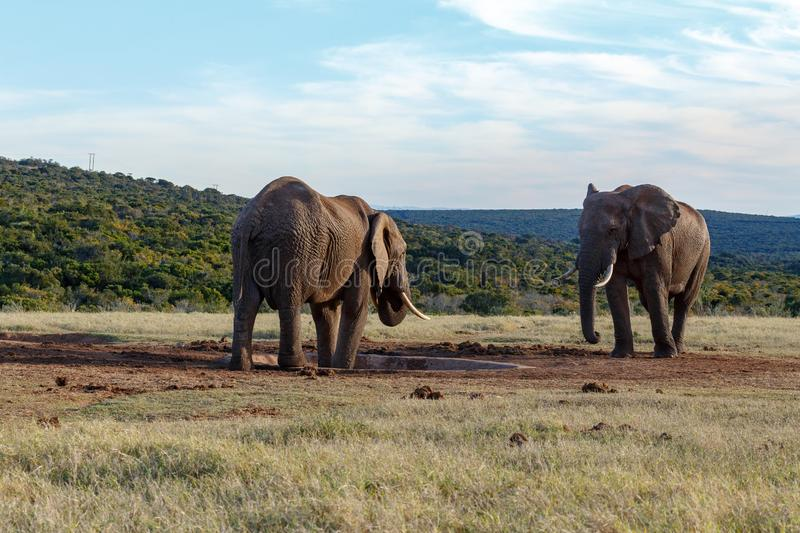 Elephants standing at the dam royalty free stock image