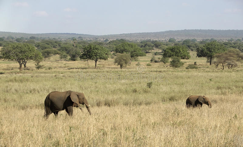Download Elephants In Tangire National Park Stock Photography - Image: 29910402