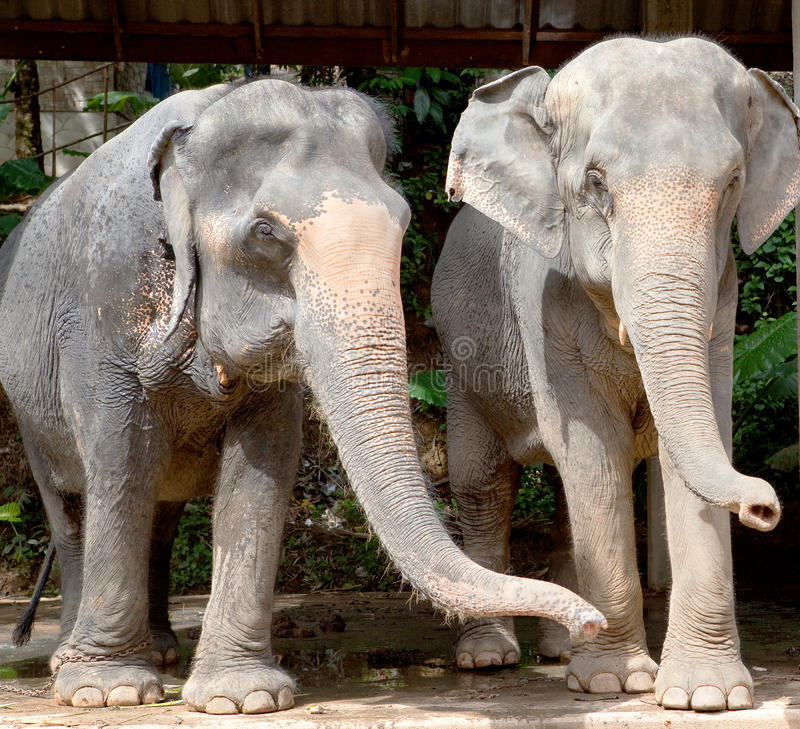 Elephants, Thailand royalty free stock photography