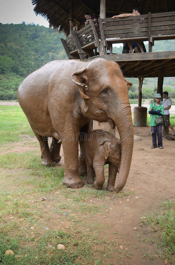 Elephants in Thailand royalty free stock images