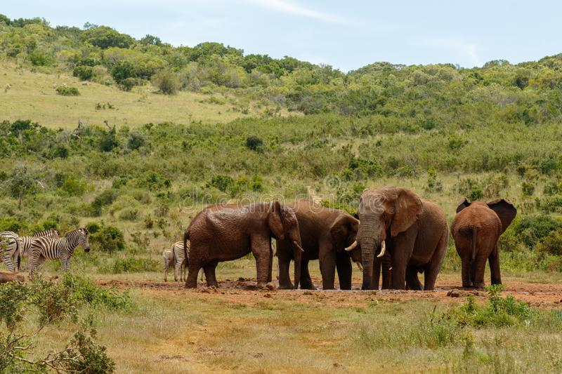 Elephants together at the drinking hole royalty free stock photos
