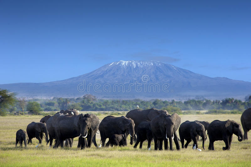 Elephants in Tsavo East Park royalty free stock images