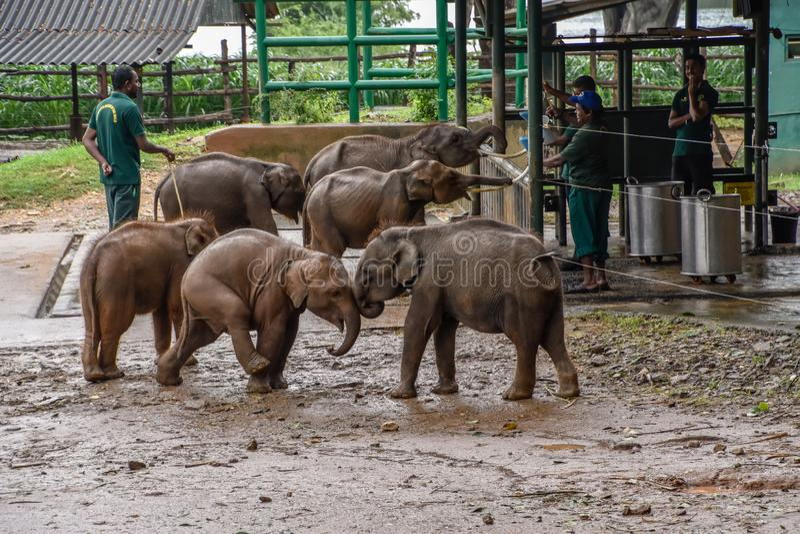 Elephants in the Udawalawe National Park on Sri Lanka royalty free stock image