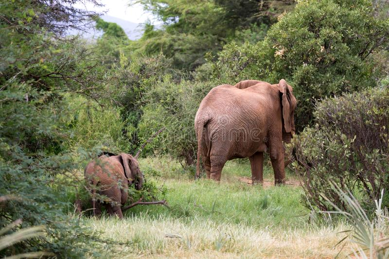 Elephants walk among the trees and shrubs royalty free stock photography