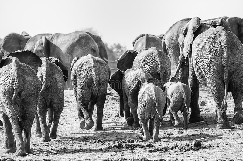 Elephants walking away stock photos