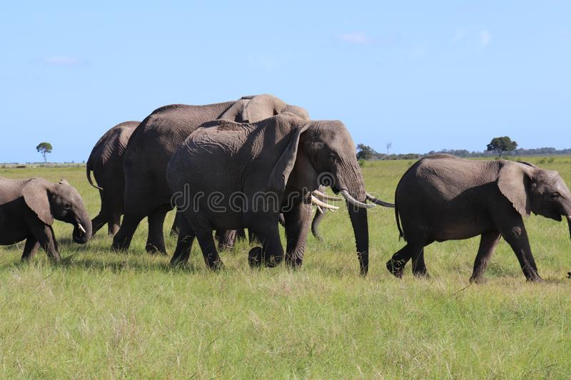 Elephants Walking With Baby Calfs royalty free stock photo