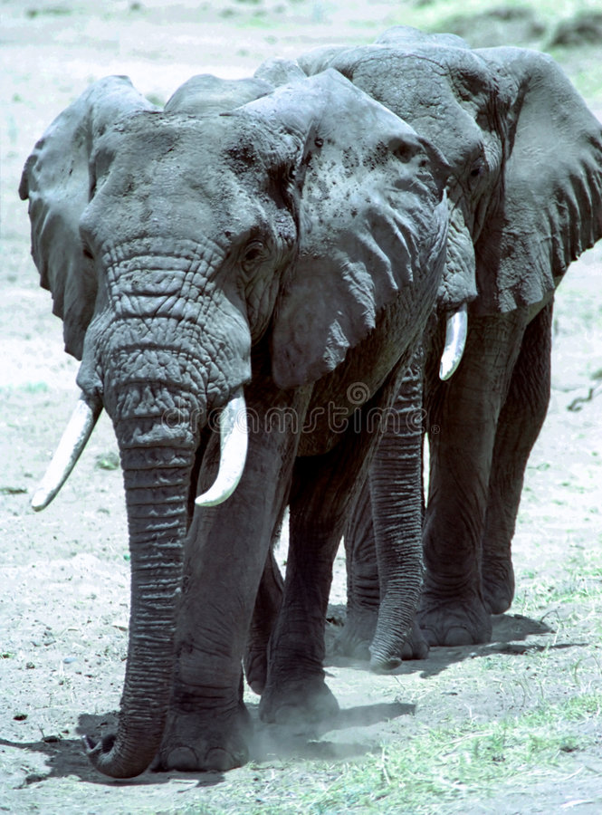 Elephants walking in line royalty free stock images